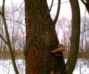 Зимние опята и вешенки ужились рядом на одном стволе