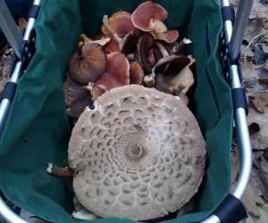 Такие грибы мы собрали в декабре у с. Сошников