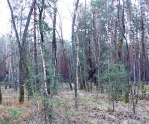 Лес в Коптях в декабре. Видите вешенки? И я не вижу... А они там есть!