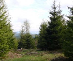 Лес со строчками в Карпатах в мае