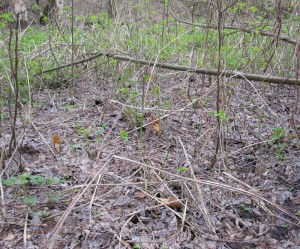Сморчки в пойменном лесу