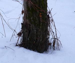 Зимние опята в лесу под Киевом