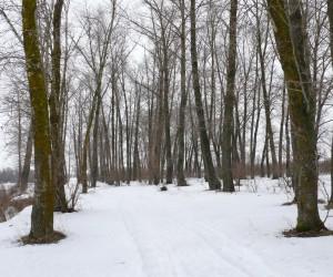 Тополиная рощица на берегу Десны у с. Крехаев зимой