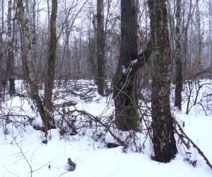 Зимний лес под Киевом
