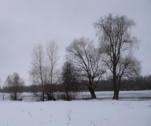 Здесь растут фламмулины бархатистоножковые. Берег реки Десна у с. Летки зимой