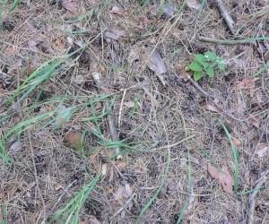 Вот так растут польские грибы в Евминке