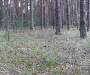 Лес в Евминке. Польские грибы и белые.