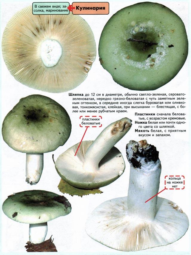 Гриб сыроежка зелёная - описание, особенности