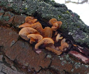 Молодые плодовые тела фламмулины зимой