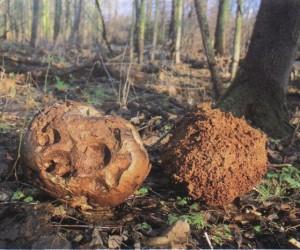 Остатки дождевика гигантского показывают грибнику, куда отправляться за добычей в следующем году
