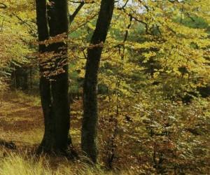 Поздней осенью буковый лес демонстрирует все великолепие своих красок, и как раз в это время здесь особенно много грибов