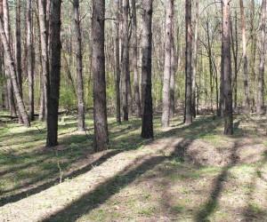 Сосновый лес под Броварами