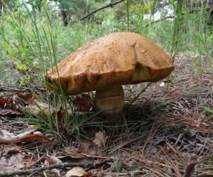 Белый гриб-гигант, танковый полигон за Остром