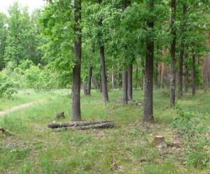 Дубовый лес у с. Старое - здесь я нашёл белый гриб