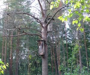 Борти в лесу Житомирщины