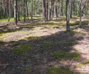 Лес, в котром растут лисички