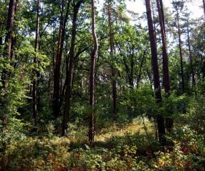 Лес под Броварами