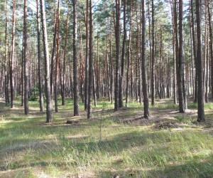 Лес у Евминки