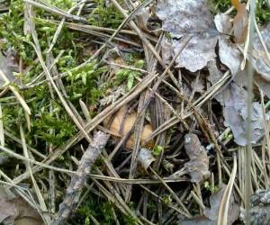 Лисички прячутся во мхах