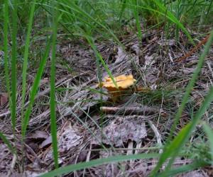 Лисичка в траве