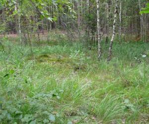 Лисичкины места: старые сосны и молодые берёзы
