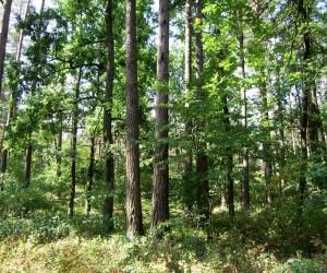 В таком лесу водится печёночница