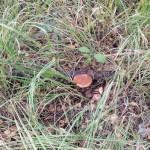 Грибы прячутся в густой траве