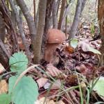 Белый гриб затаился в кусте лещины