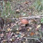 Белый гриб и подберёзовик - присоседились