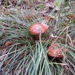 Опять польские грибы, под травой