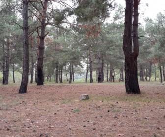 Сосновый лесок с рыжиками
