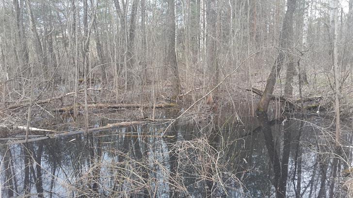 Берега талых луж в лесу - места обитания сморчковой шапочки