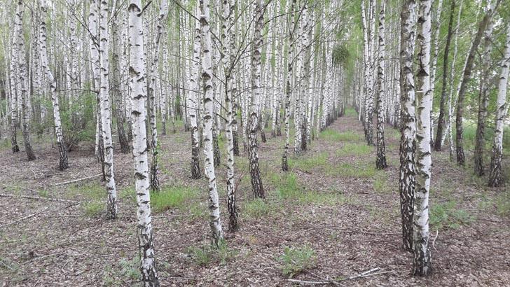 Майский берёзовый лес. Здесь мы когда-то собирали много подберёзовиков