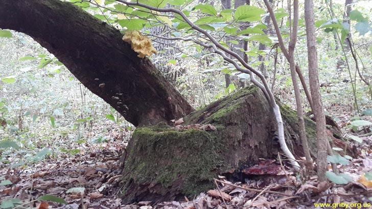 Разные трутовики на одном дереве