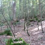 Лес у озера Синевир