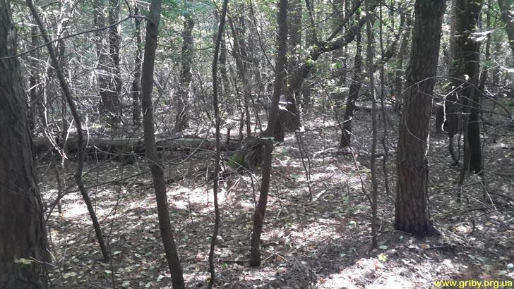 Лес в Залесье - густой и труднопроходимый