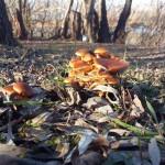 Зимние опята Flammulina velutipes на берегу Десны
