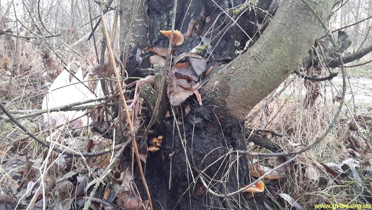 Зимние грибы на вербе