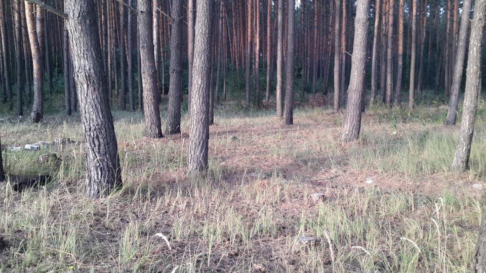 Старый сосновый лес - Залесье