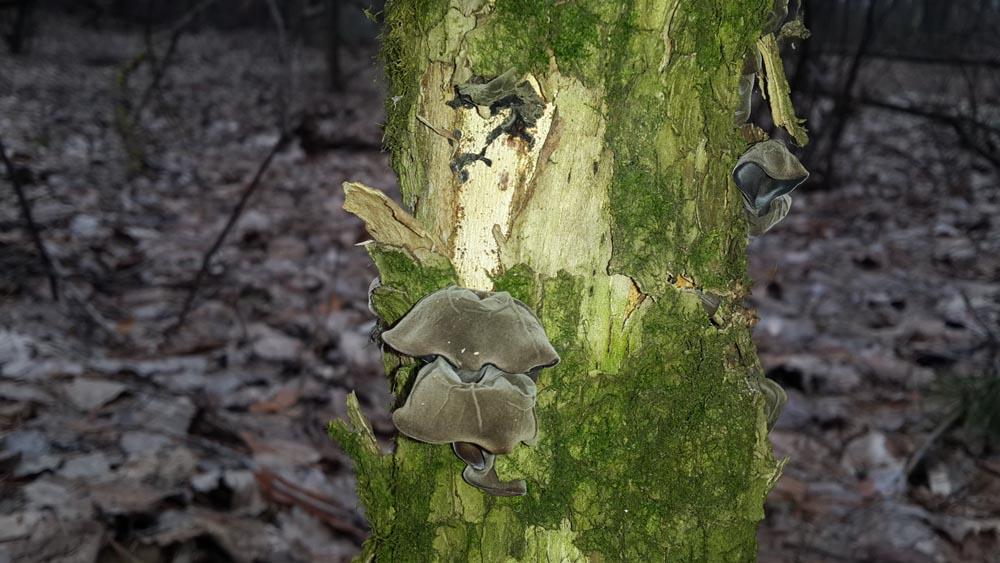 Гриб Иудино ухо в весеннем лесу