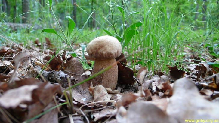 Белый гриб - «колосовик» в июне