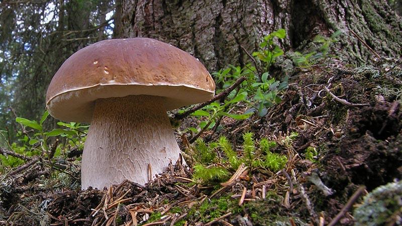 Белый гриб обыкновенный
