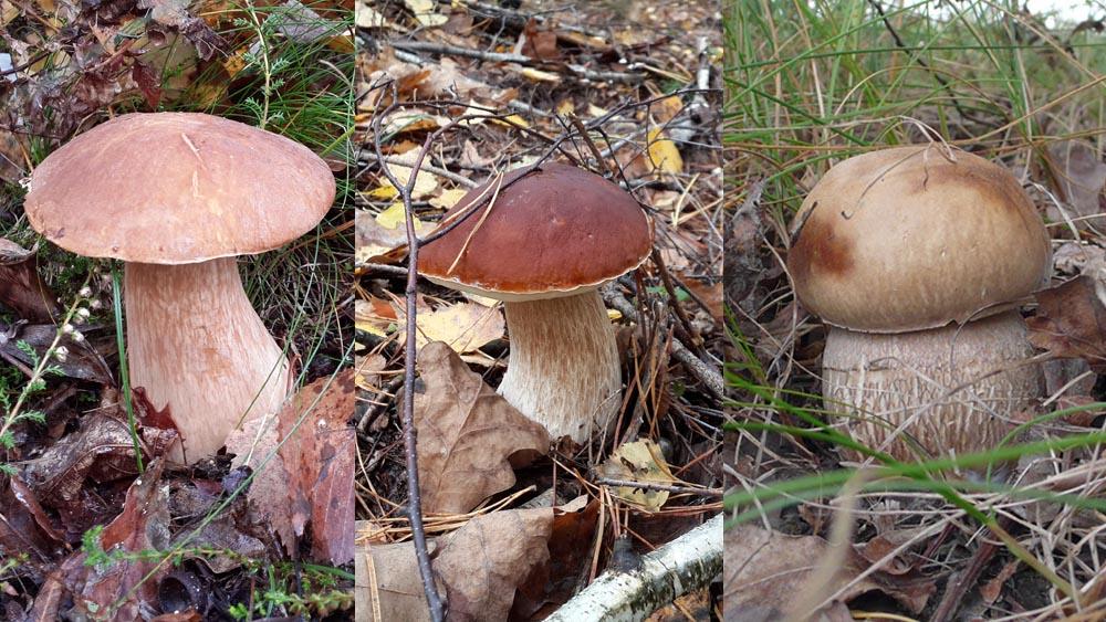 Белые грибы: березовый, сосновый, дубовый