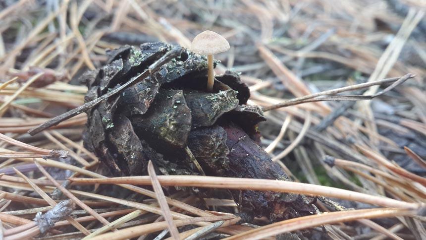 Беоспора мышехвостая (Baeospora myosura)