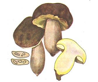 Боровик желтый (Полубелый гриб)