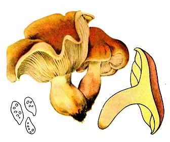 Гигрофор сыроежковидный