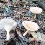 Говорушка ворончатая (Clitocybe gibba)
