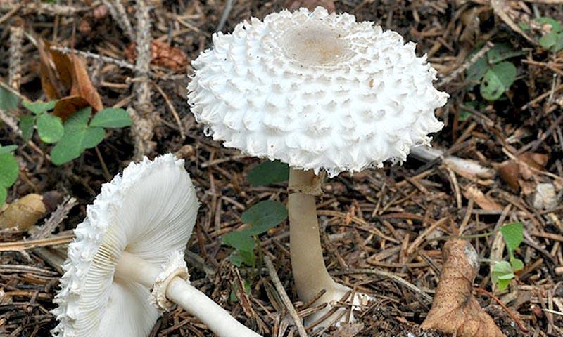 Гриб-зонтик девичий (Macrolepiota puellaris) - описание