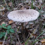 Гриб-зонтик пёстрый Macrolepiota procera