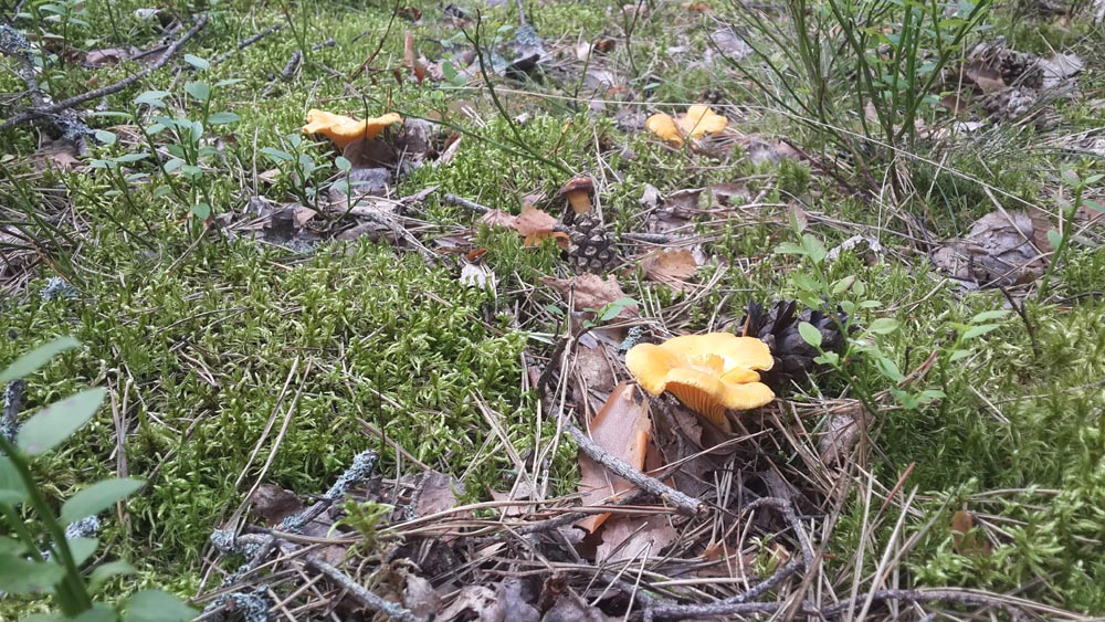 Грибы лисички на болотах растут даже в жару